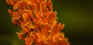 Abbotsbury Orange