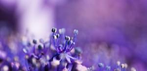 Abbotsbury Purple