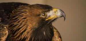 Golden Eagle Orla