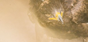 Golden Eagle Orla Sunlight