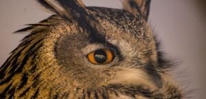 Indian Eagle Owl Rocky