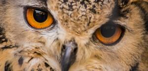 Indian Eagle Owl Rocky Eyes