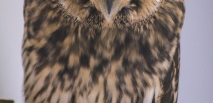 Short Eared Owl Earnie